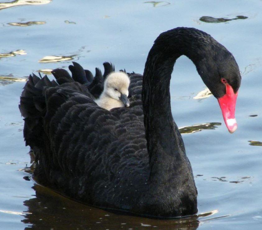 Black Swan Western Australia | newhairstylesformen2014.com